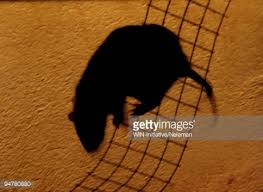 rat shadow